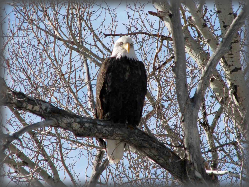 photo of bald eagle sitting on a tree branch